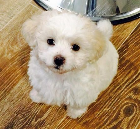 Sushi The Maltese Poodle Mix Maltipoo Looks Like A Sweetie