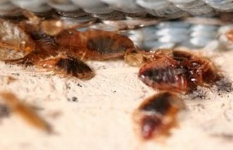 Does Lysol Kill Bed Bugs Spray To Get Rid Of Bed Bug Eggs How To Use Baby S Room And Lysol Safety Kill Bed Bugs Bed Bugs Bed Bug Extermination