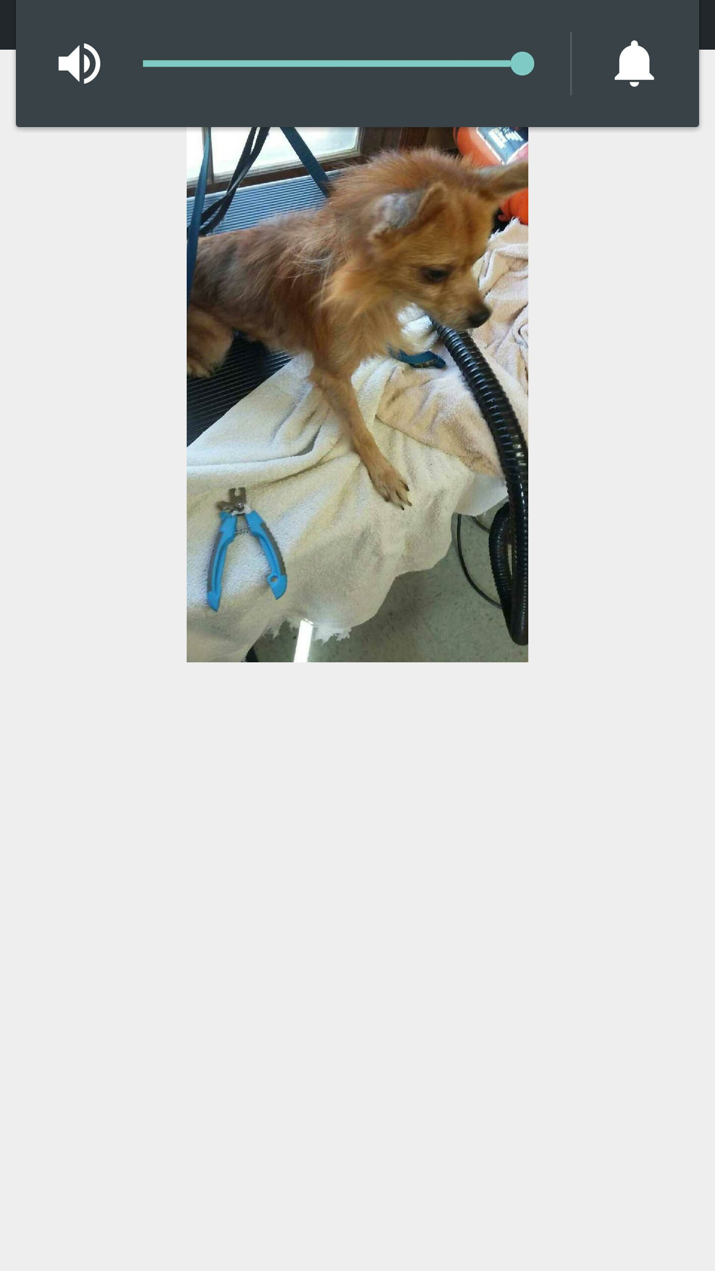 Pomeranian dog for Adoption in Nashville, TN. ADN420867