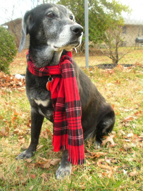 46 dogs wearing handsome scarves wear scarves and