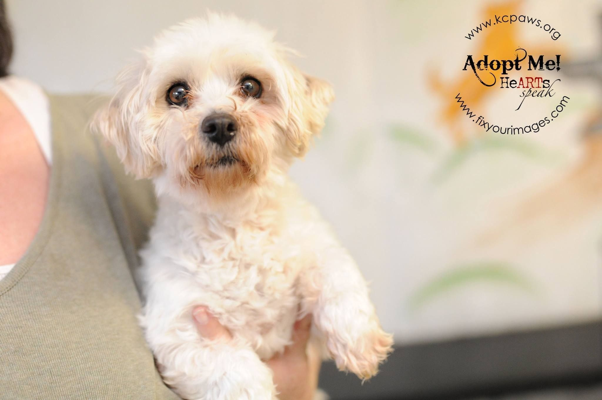Maltese Dog For Adoption In Richmond Mo Adn 576332 On