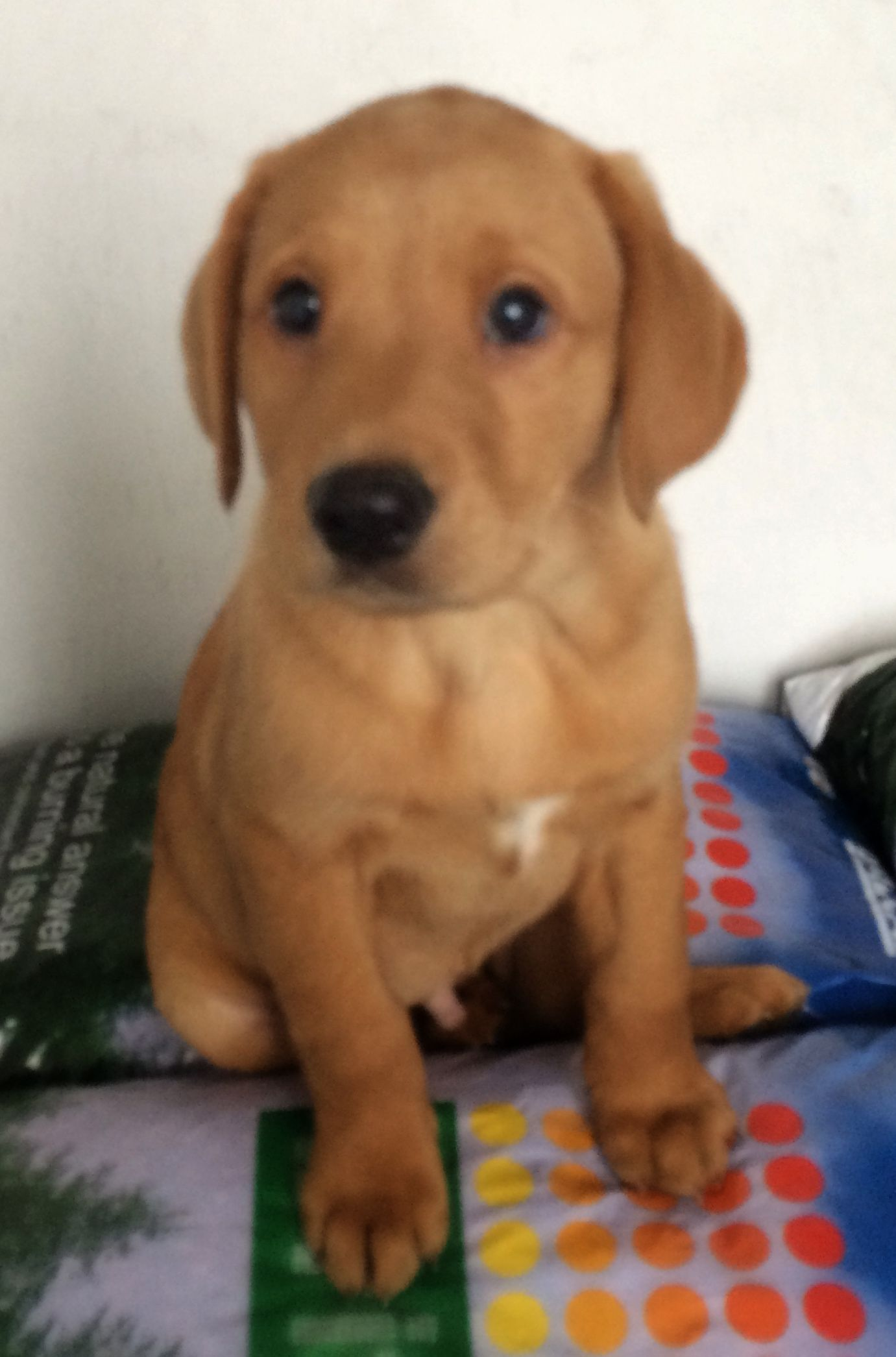 That S Me 8 Weeks Old Now See How I Grow Up Fast Fox Red Labrador Red Labrador Labrador Retriever