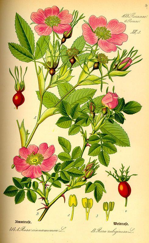 Flora Von Deutschland Osterreich Und Der Schweiz 1885 Botanische Abbildungen Botanische Zeichnungen Pflanzenzeichnung