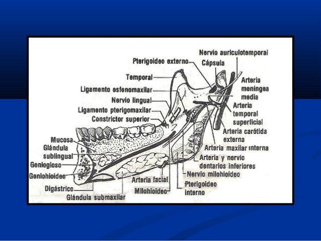 Anatomia de maxilares nuevo | anatomy | Pinterest | Anatomía ...