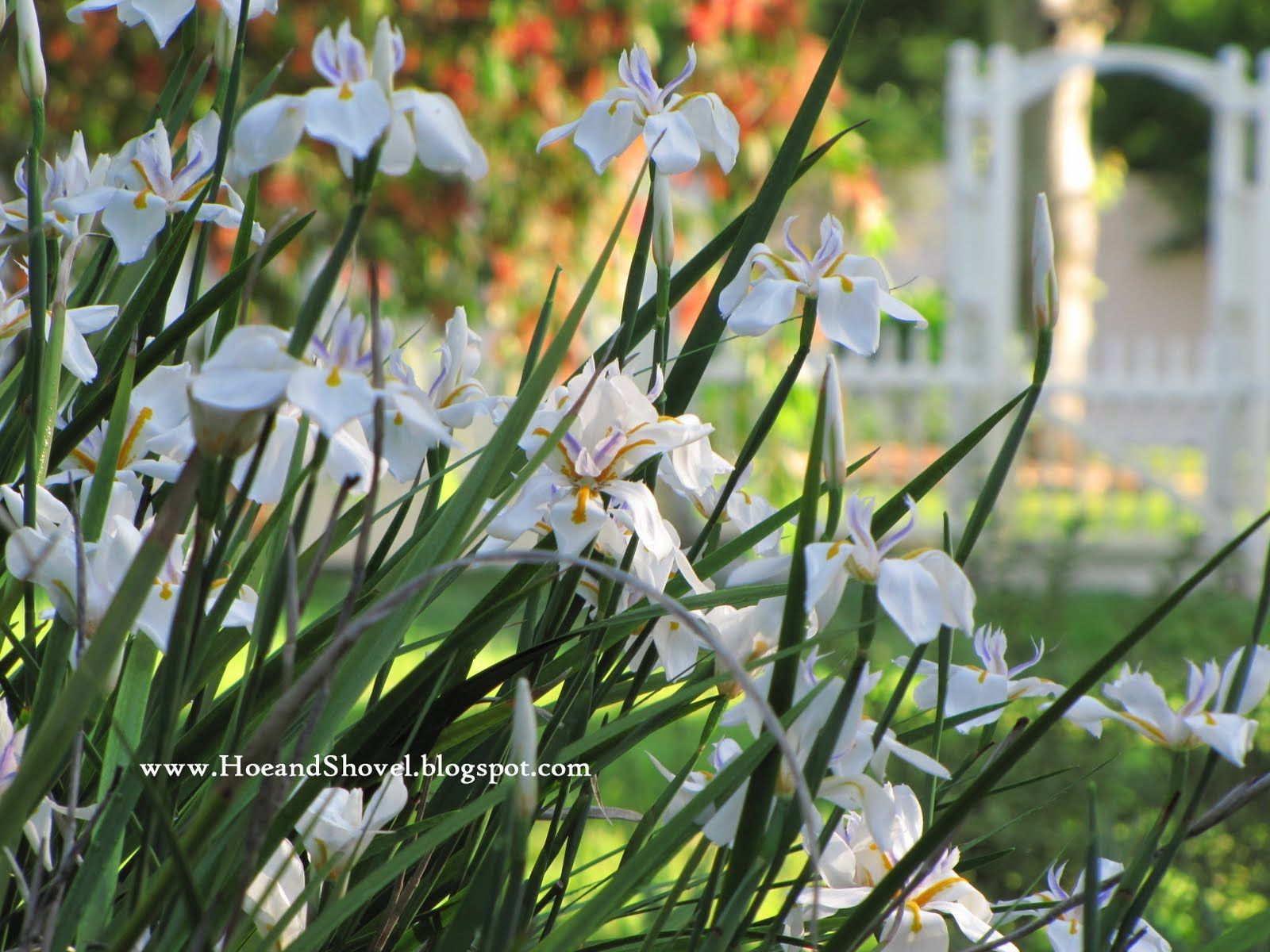 Neomarica caerulea gracilis walking iris part shade to shade 15 dietes iridioides african iris fortnight lily or morea iris blooms in repeated flushes throughout the spring summer and into fall izmirmasajfo Images