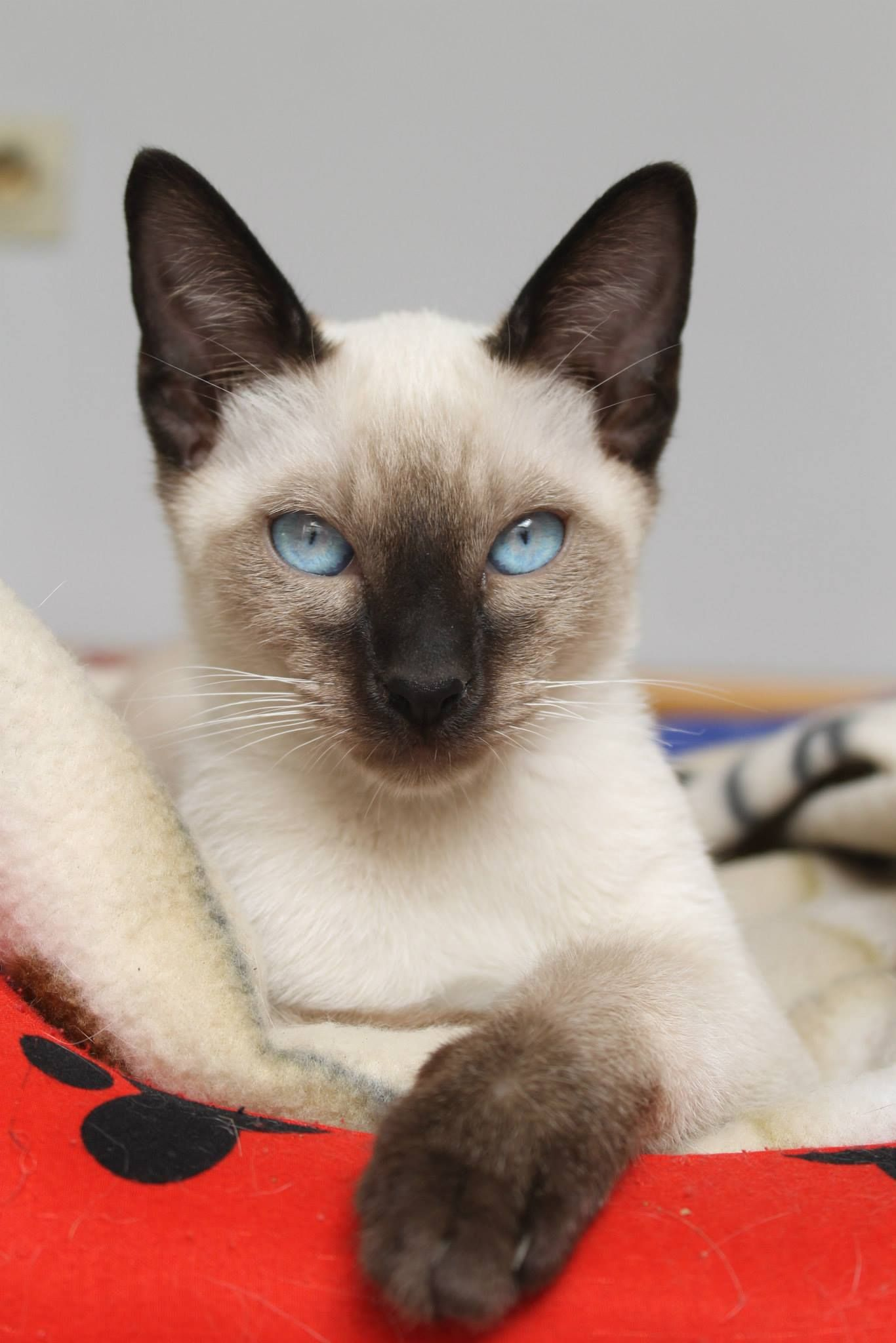 Https Www Facebook Com Komaewsthaicattery Photos A 344108345780977 1073741963 148030562055424 379949422196869 Type 1 S Siamese Cats Cats Cats And Kittens