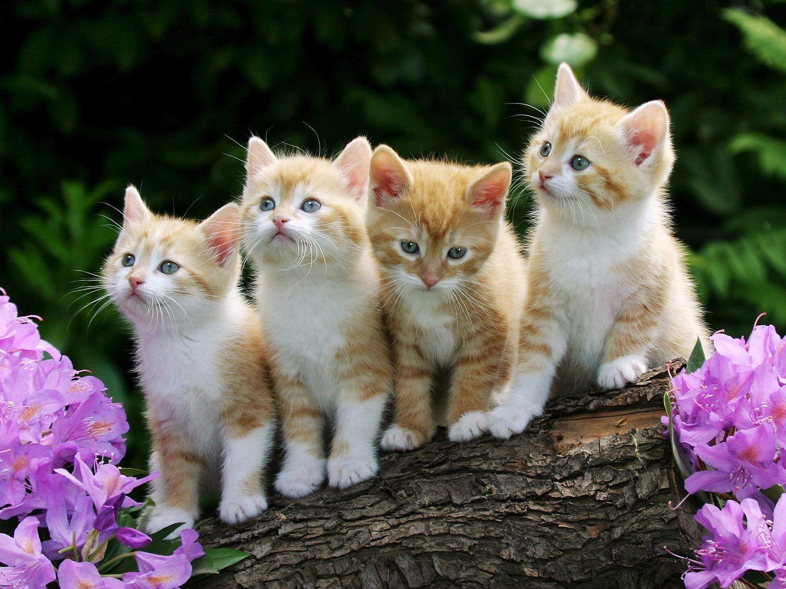 kittens animals wallpaper  2015 Animals HDWallpapers  Pinterest