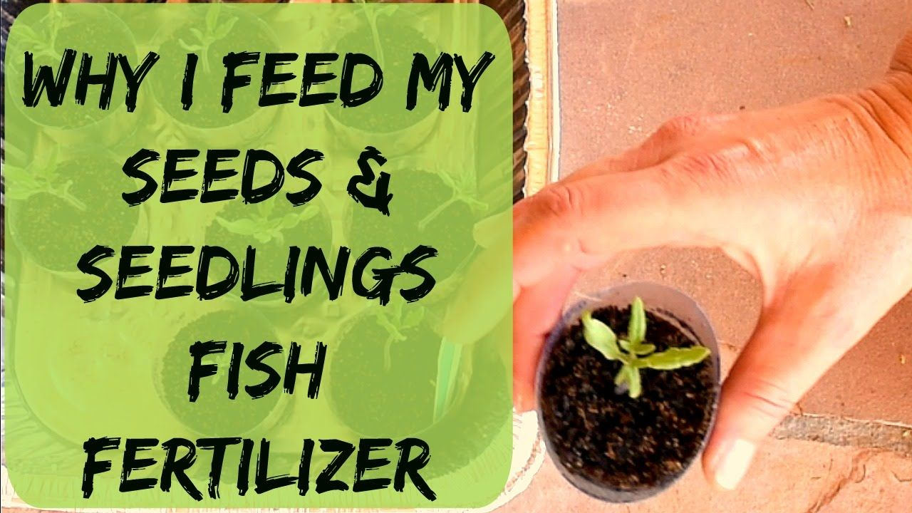 When What How To Fertilize Seedlings Seeds Tomatoes 400 x 300
