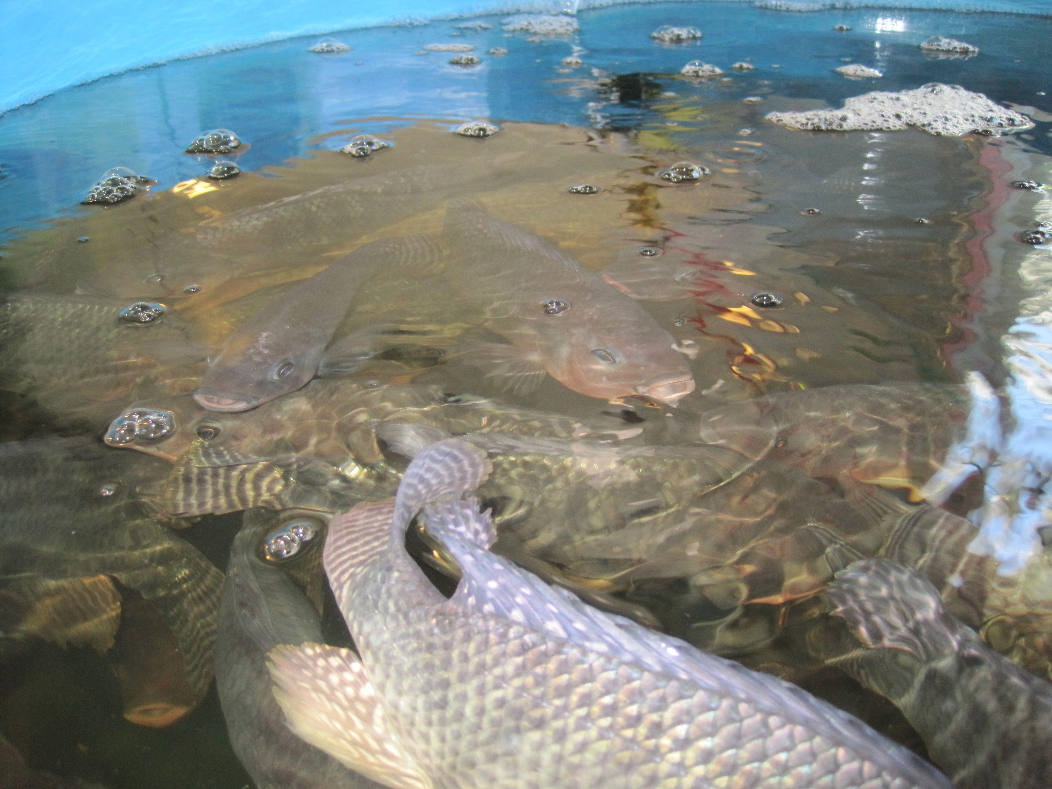 tilapia fish farm for sale fish farming pinterest tilapia