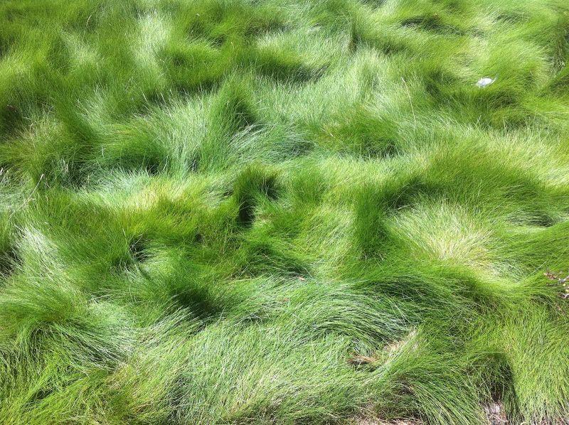 Green Fescue Grass Alternative Small Urban Garden Grasses Garden