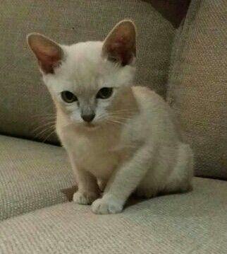 12 Week Old Lilac Burmese Kitten Burmese Kittens Burmese Cat