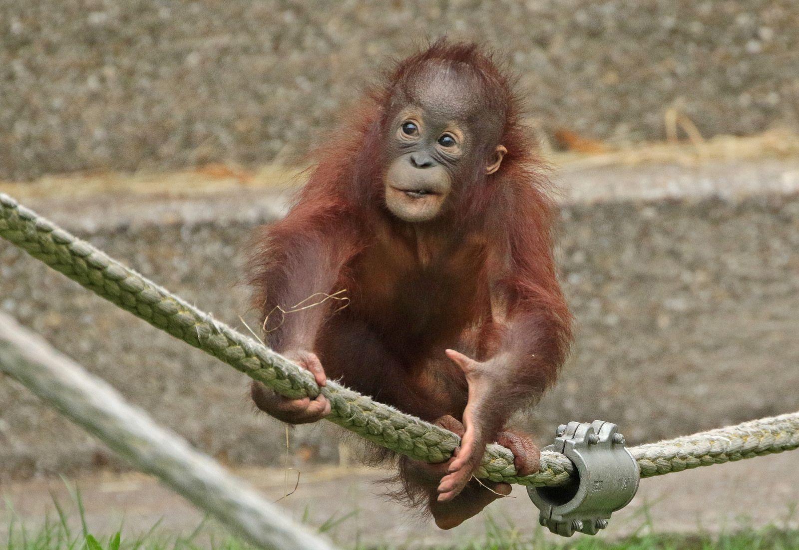 Sumatran Orangutan Sabbar Ouwehands Bb2a2761 Orangutan Sumatran Orangutan Cute Monkey