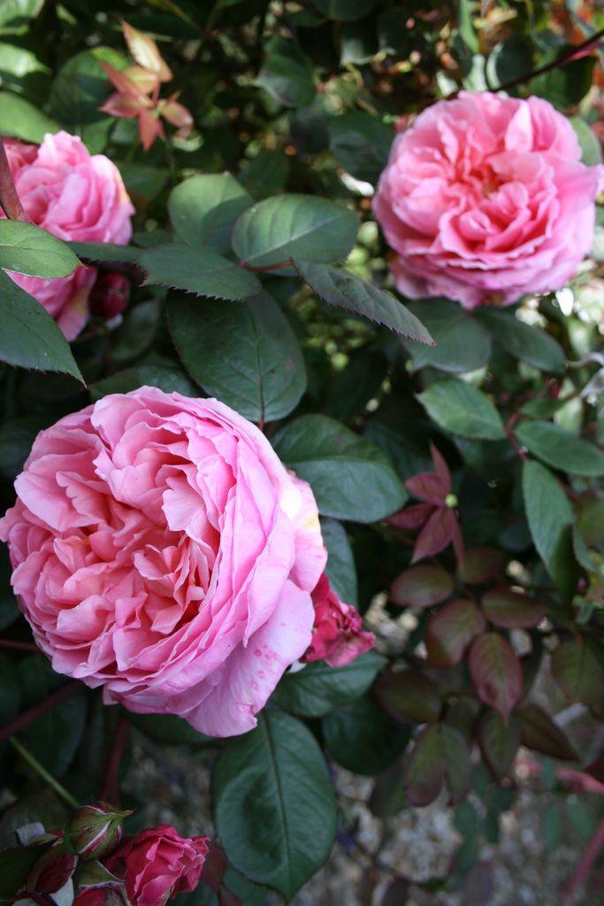 Brother Cadfael English Roses Rose David Austin
