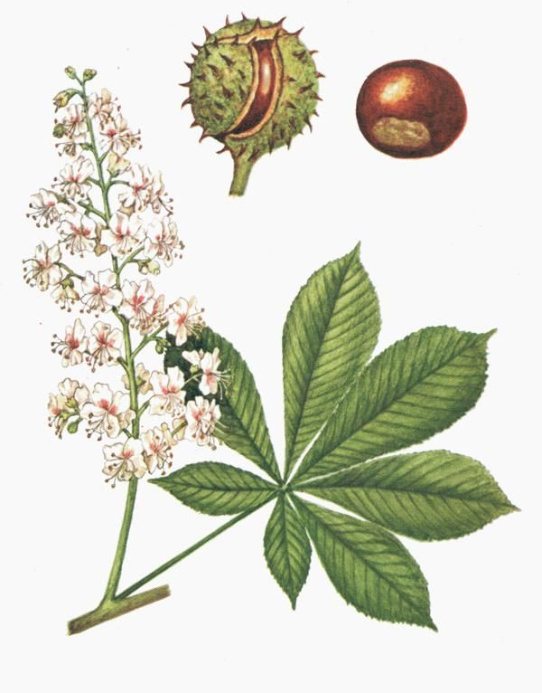 Are white chestnut drops a homeopathic remedy tattoo ideas are white chestnut drops a homeopathic remedy mightylinksfo Choice Image