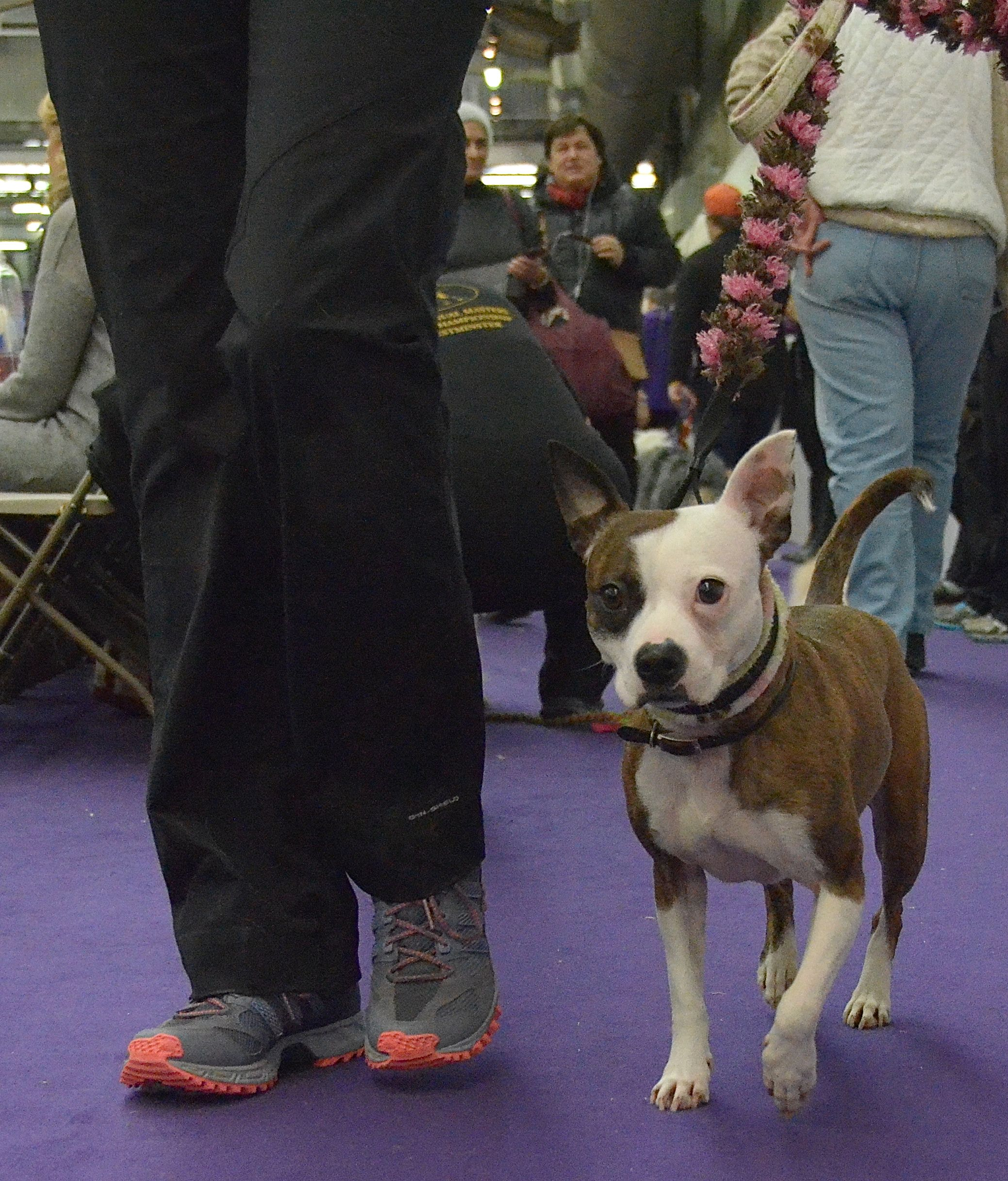All American Dog The Masters Agility Championship At Westminster