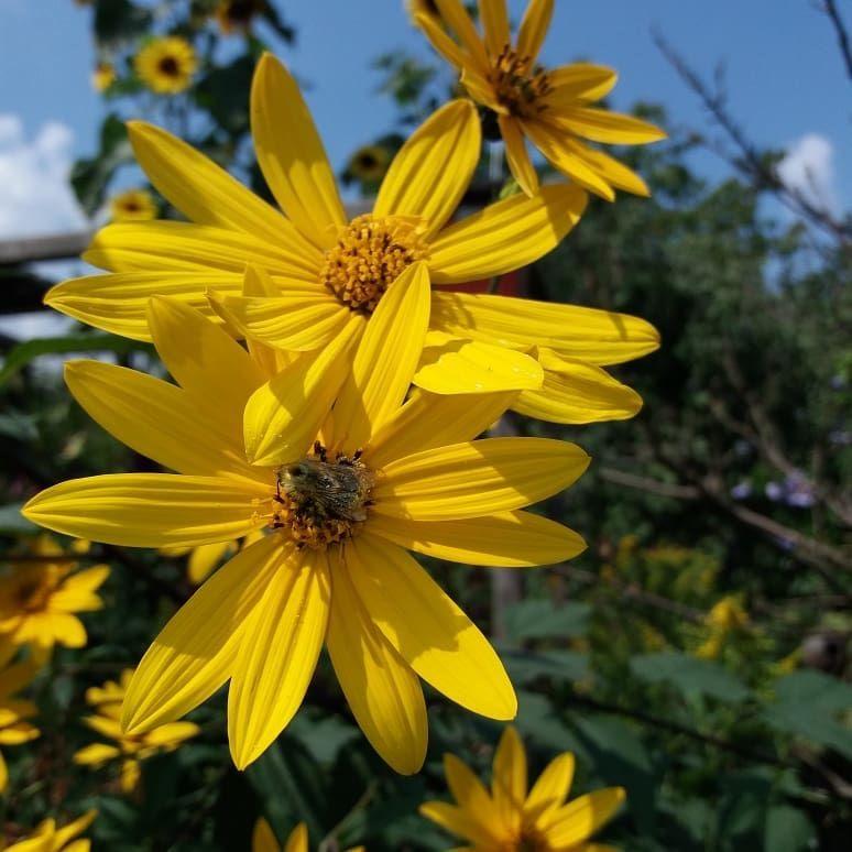 Topinambur Blumen Essbar Garten Hamburg Gelb Bienenweide Garten Topinambur Blumen
