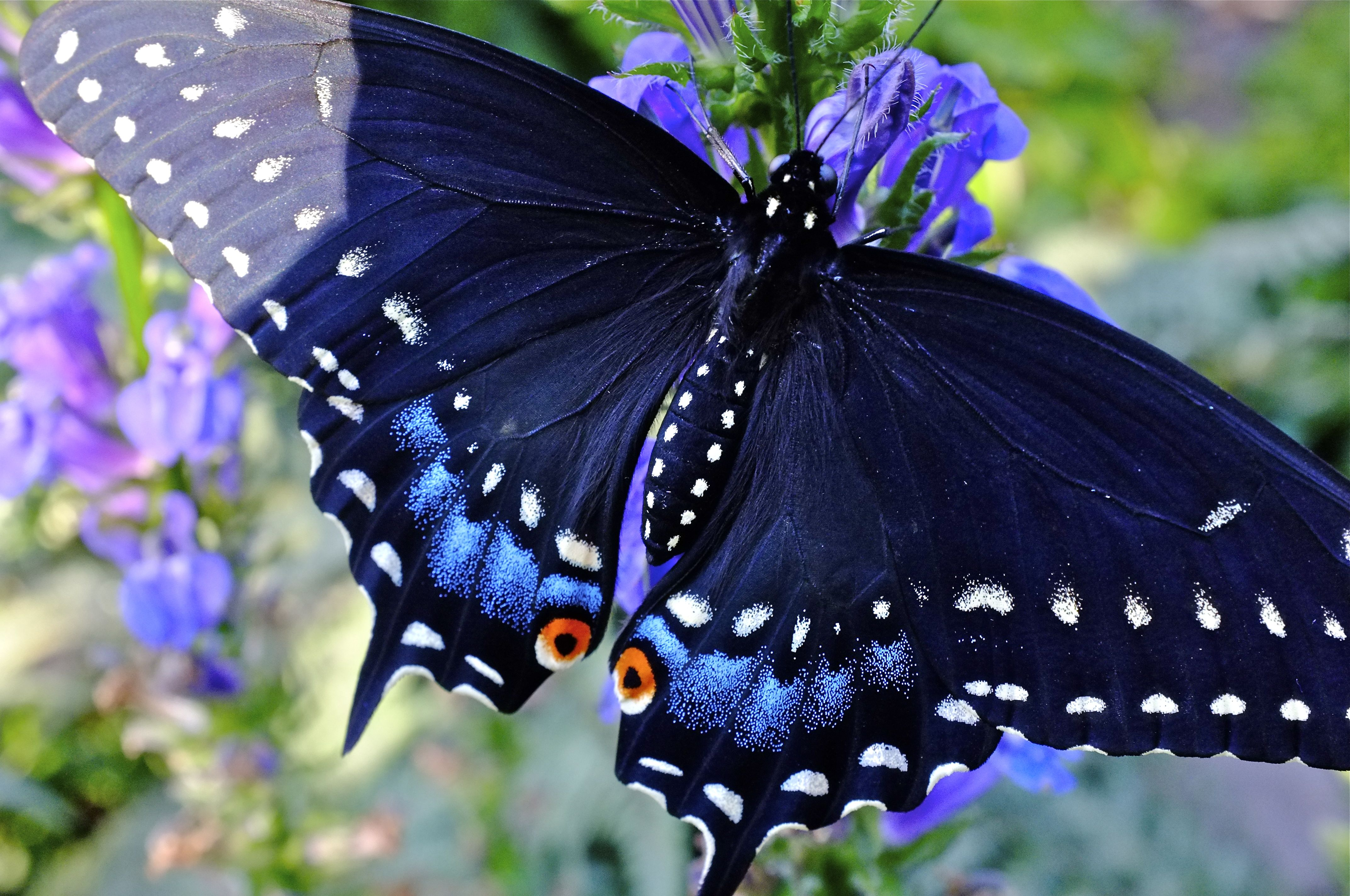life story of the black swallowtail butterfly facebook hilda