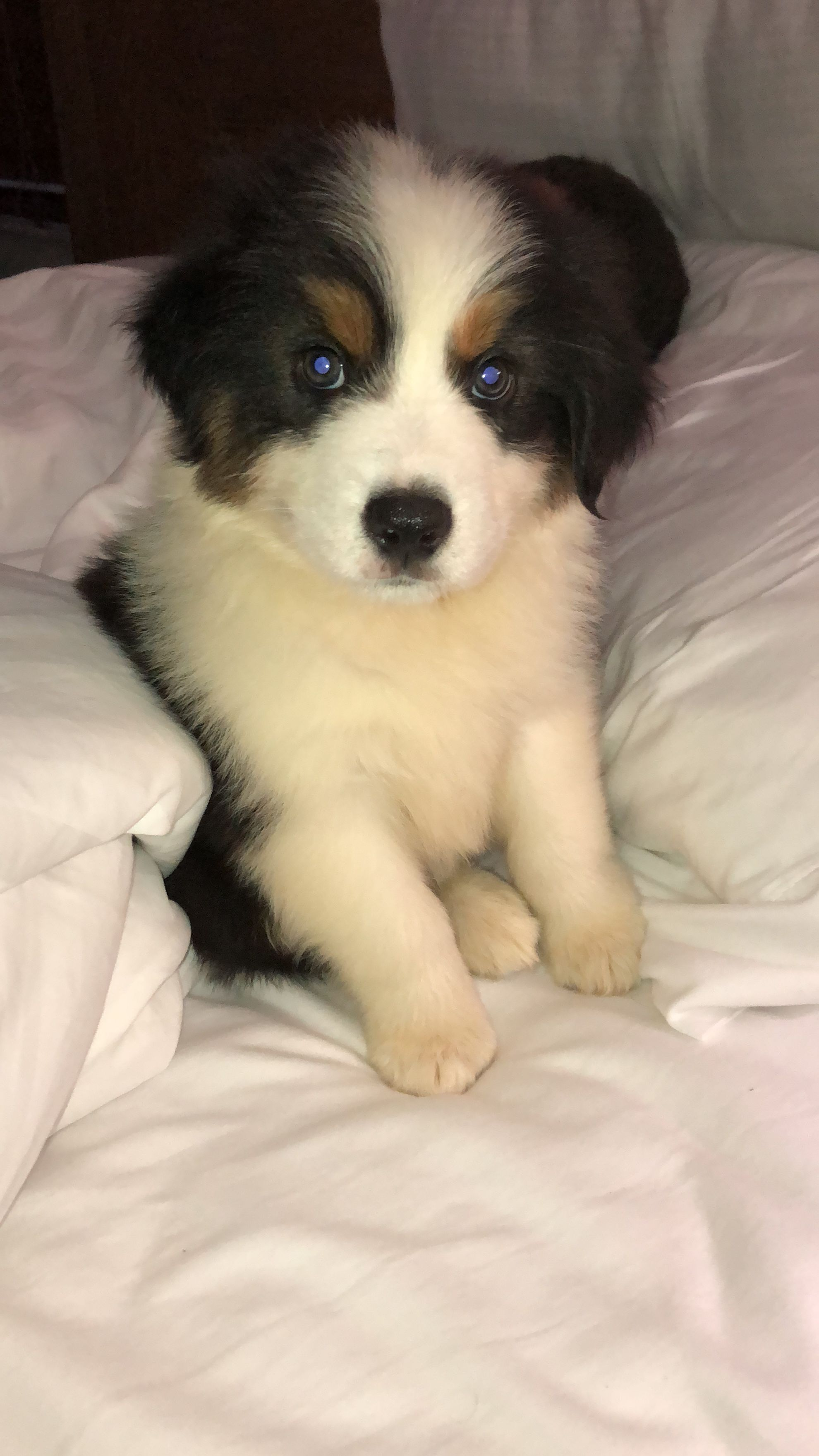 Border Collie Australian Shepard Mix Puppy Leroy Love Australian Shepard Mix Cute Puppies And Kittens Border Collie