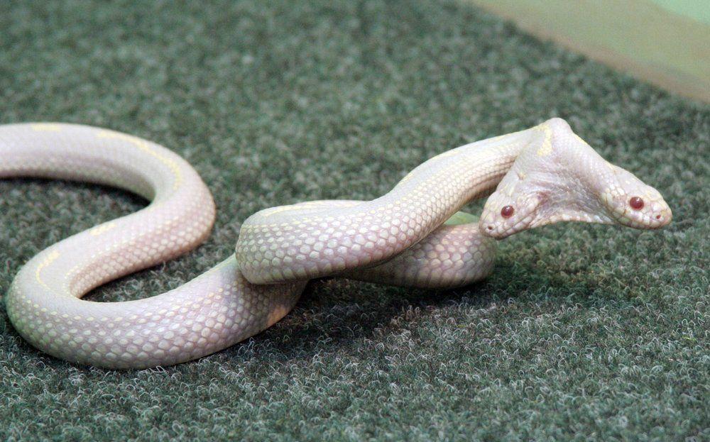 Doppelkopf Schlange Der Albino Python Wirkt Mit Seinen Zwei Kopfen Schon Sehr Benachteiligt Mit Bildern Schlangen Bilder Tiere Weisse Schlange