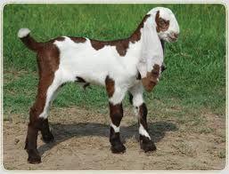 jamunapari goats for s...