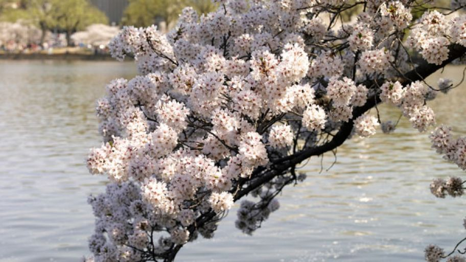 5 Essential Tips For Growing Cherry Blossom Trees Cherry Blossom Tree Blossom Trees Blossom