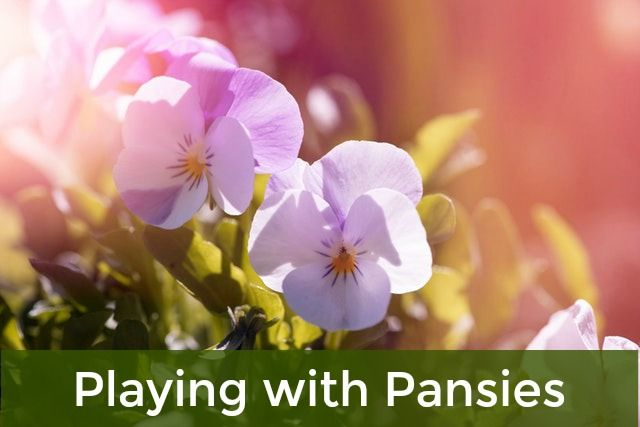 Pansies And Their Tinier Cousins Violas Are Without A Doubt A Beautiful Way To Keep Color Organic Horticulture Organic Gardening Organic Gardening Tips