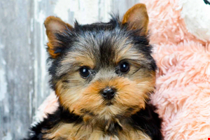 AKC Yorkie puppies for sale Buy Teacup Yorkshire Terrier