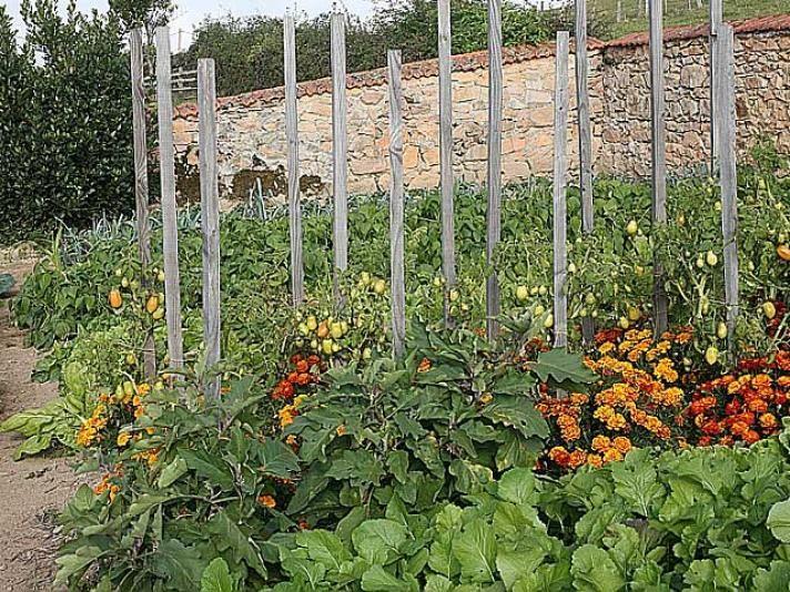 Comment associer les cultures au potager permaculture for Plantes aromatiques