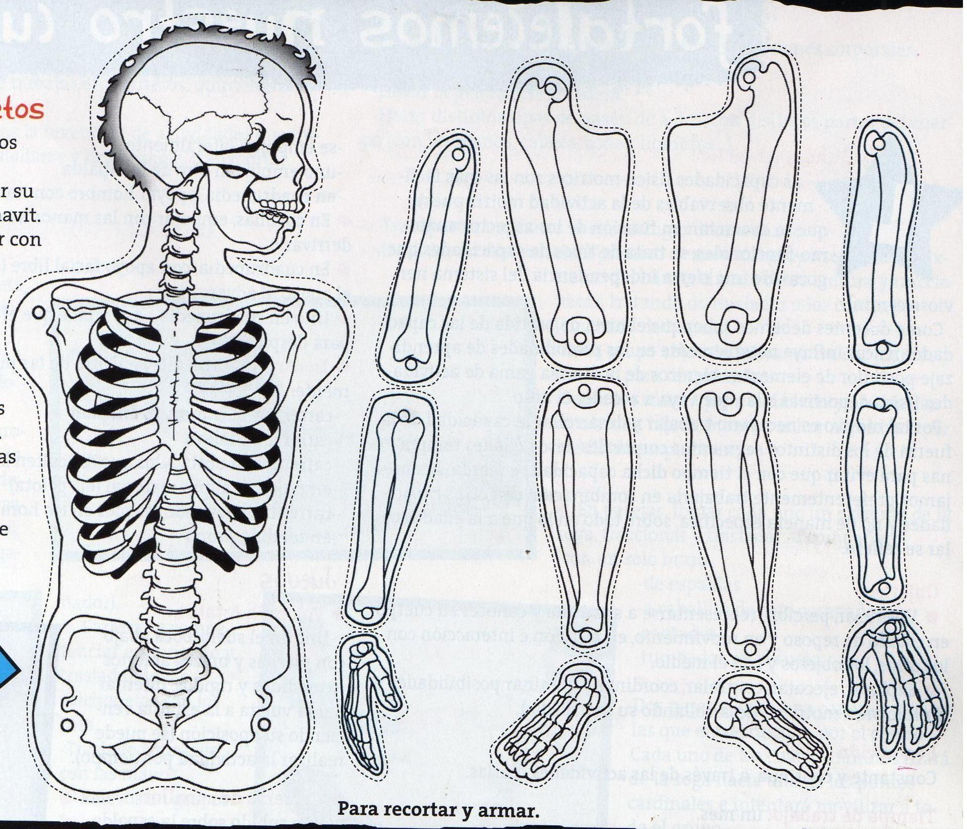 Molde Sistema Oseo Para Armar Educación Preescolar Esqueleto Humano Para Niños Huesos Del Cuerpo Cuerpo Humano Para Niños
