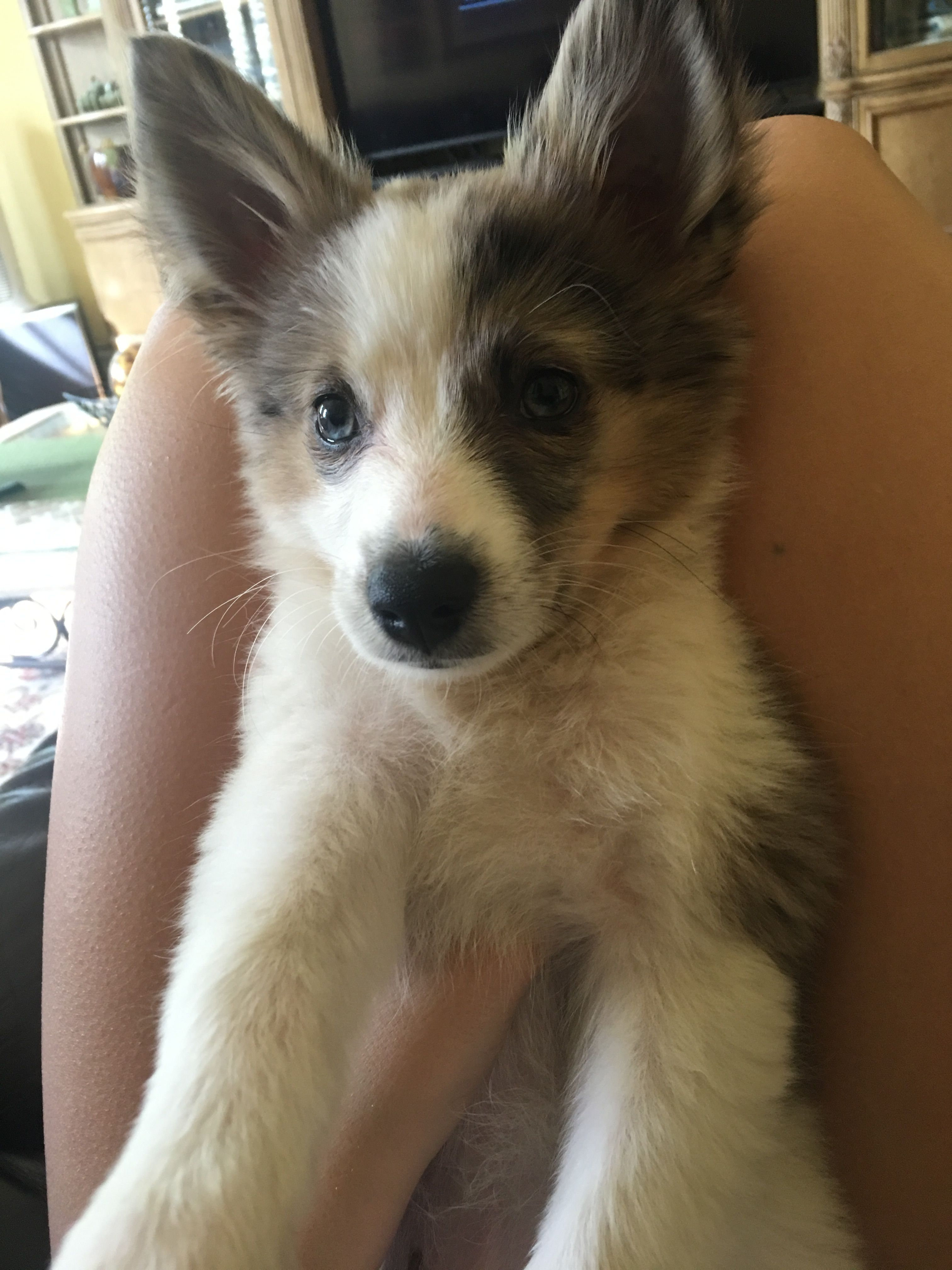 Australian Shepherd Mixed With American Eskimo Puppy American Eskimo Dog Mix American Eskimo Dog American Eskimo Puppy