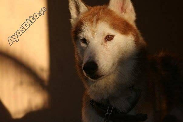 Male Siberian Husky With Large Cage Husky Pets Animals