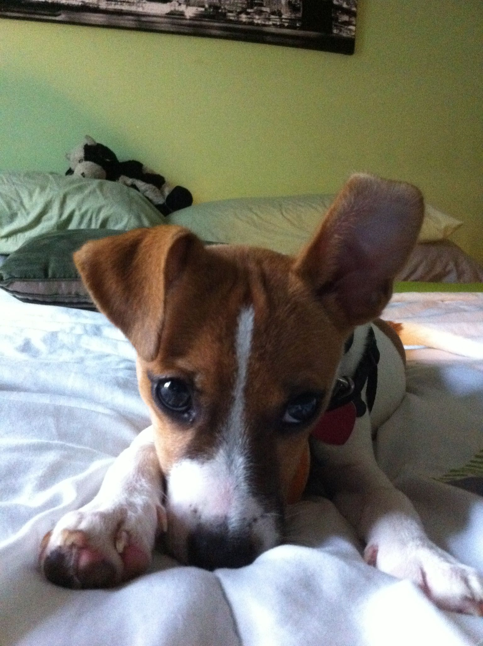 Jack Russell Toy Fox Terrier With Images Toy Fox Terriers