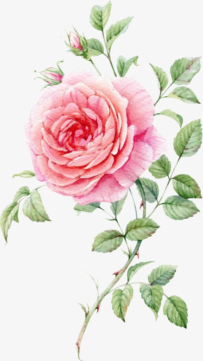 Rosas de color rosa pintado en acuarela, Rose Bud PNG Image and ...
