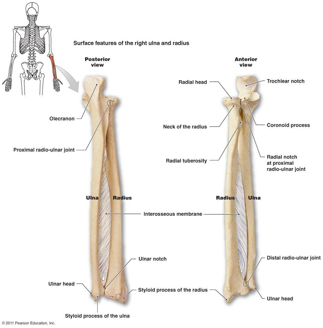 Pin By Malak On Anatomy Pinterest Anatomy