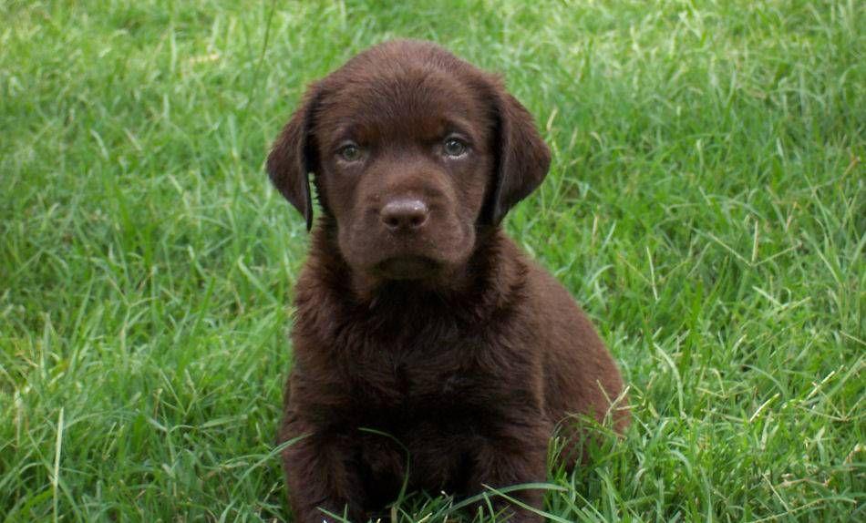 Chocolate Lab Puppy Tier Fotos Hund Und Katze Tiere Hund
