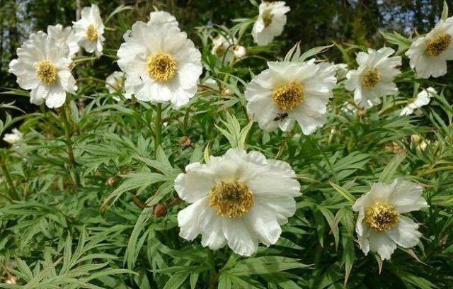 Valkoinen ruusupioni