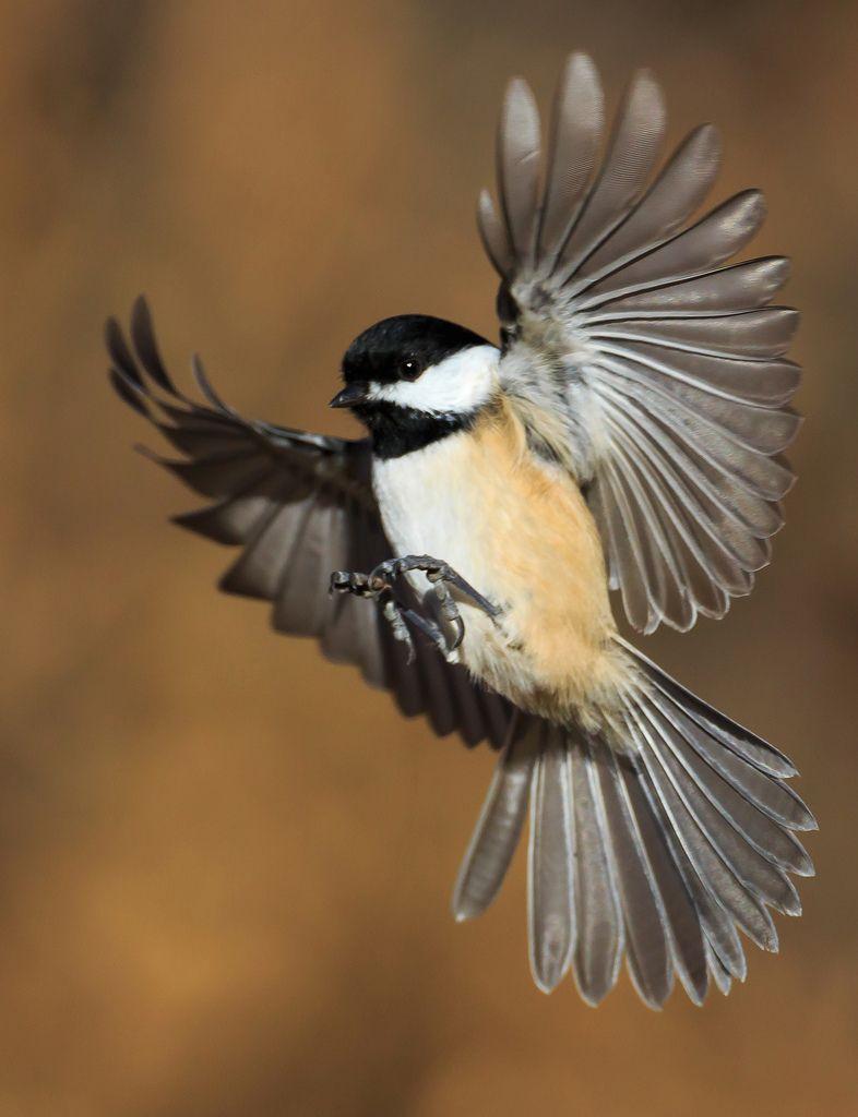 Flying chickadee google search birds pinterest for Kleine fliegen an blumen