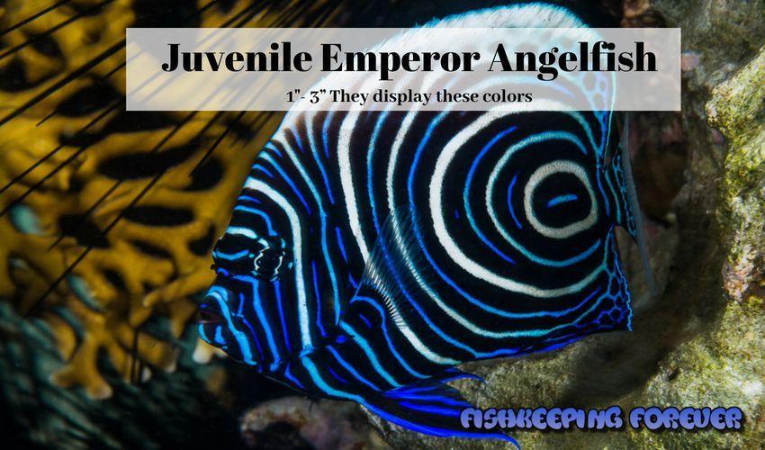 emperor angelfish saltwater fish marine fish invertebrates corals