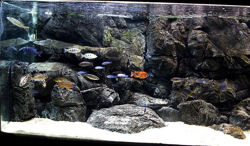Home cichlid fishtank pangea 3d aquarium background for 3d fish tank