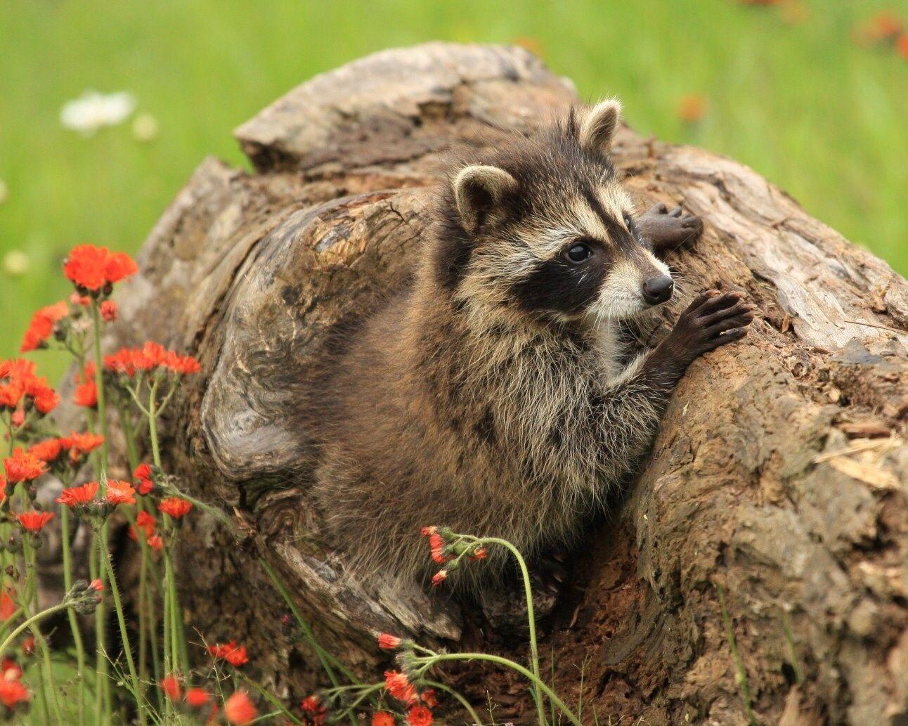 Hide And Seek Cute Raccoon Raccoon Animals
