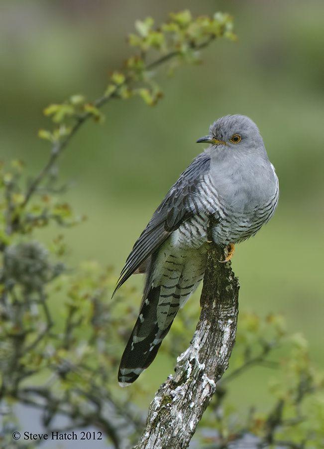 résultat de recherche d images pour cuckoo cuckoo pinterest