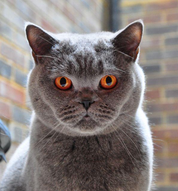 Portrait Of Harvey Gorgeous Cats British Shorthair Cats Grey Cats