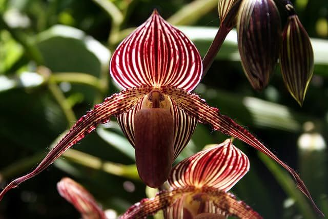 Gold Of Kinabalu Orchid 6000 Per Piece Sells At An Extremely High Price Due To Its Rarity And Beauty It Is O Expensive Flowers Orchids Beautiful Orchids
