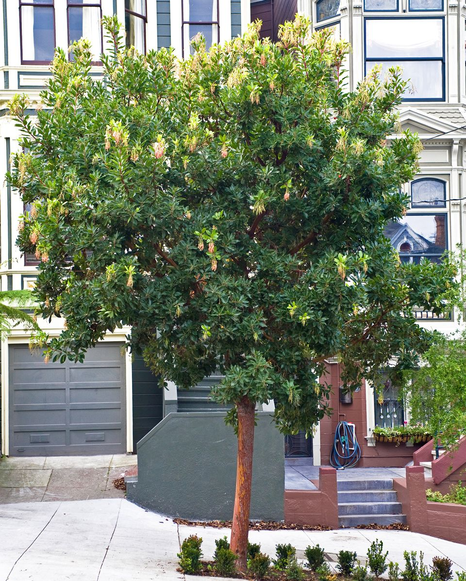 Arbutus Marina Evergreen Beautiful Bark That Would Look Good With Your Brick It Does Get Small Coral Colored Flowe Dry Garden Arbutus Marina Arbutus Tree