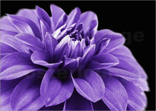 dahlia blume lila lila morado lavanda lilac purple pinterest. Black Bedroom Furniture Sets. Home Design Ideas