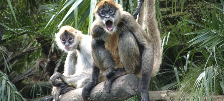 Spider monkeys at a nature reserve nicaragua nicaragua - Cocobolo granada ...