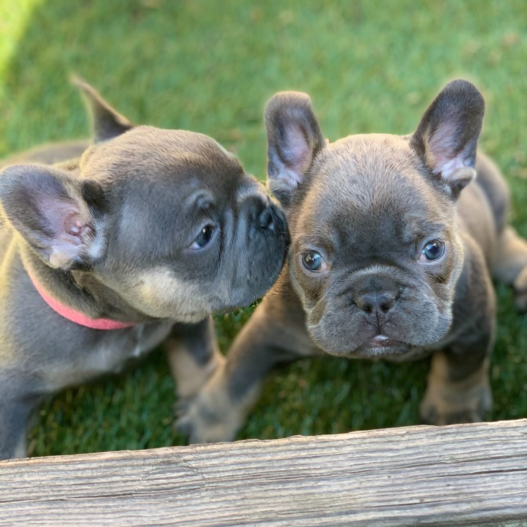 French Bulldog Blue tri female 5 weeks available for