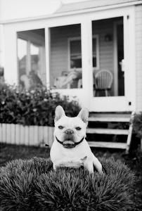 French Bulldog Southampton Ny By Theo Westenberger K Law