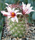 Mammillaria Fraileana cactus plant