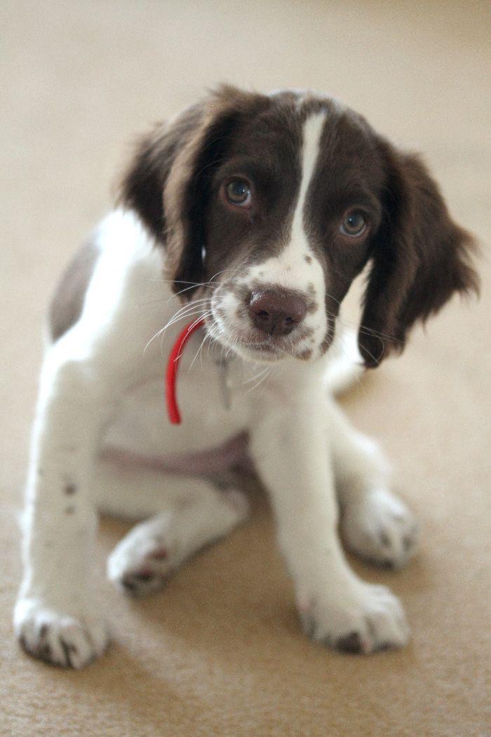 Our Springer Eda Springer Spaniel Puppies Spaniel Puppies Springer Spaniel